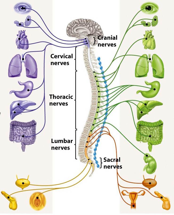 Coluna-X-órgãos